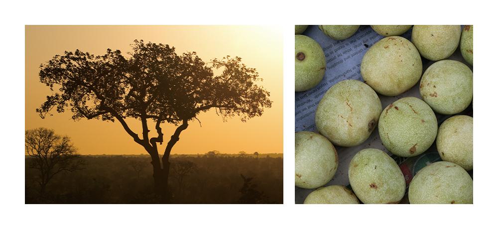 マルラの木と実