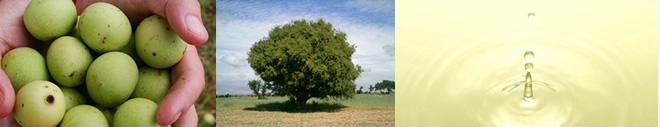 マルラの木やマルラの木の実